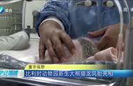 比利时动物园大熊猫诞下龙凤胎,其中一只首次亮相,惹众人喜爱