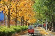 北京最美的银杏大道原来是这条大马路,不在钓鱼台,简直美翻了