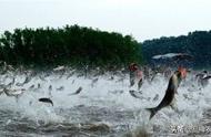 鲤鱼在美国泛滥成灾,斥资180亿整治无效,最后感谢中国……