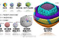 中国科学家首次看清非洲猪瘟病毒 它比甲肝病毒大多了