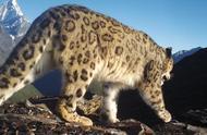 四姑娘山首次拍到野生雪豹清晰影像
