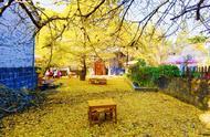 不止西安的千年银杏树,云南的这个银杏村也火啦