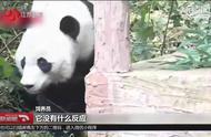 """旅美大熊猫""""贝贝""""回成都,能听懂四川话吗?饲养员:双语照料"""