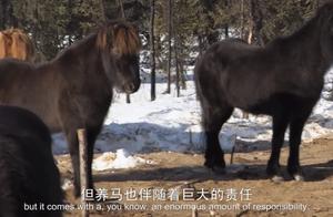 摩根养了几只冰岛马,冬天的阿拉斯加,让马儿没有了饲料