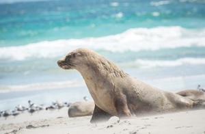 澳洲这个物种又泛滥了,海豹堆满礁石,中国网友表示愿意帮忙!